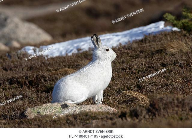 Mountain hare / Alpine hare / snow hare (Lepus timidus) in white winter pelage sitting in moorland / heathland