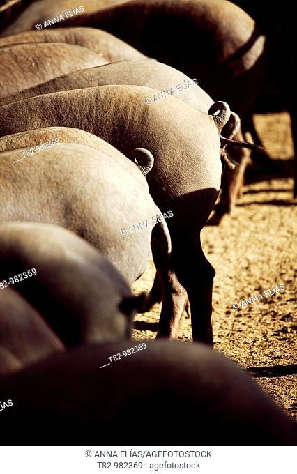 pata negra pigs in a pig farm pig ecological Jabugo in Huelva, Andalucia, Spain,cerdos de pata negra en una granja porcina ecologica de cerdo de Jabugo en...