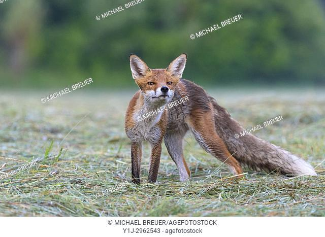 Red fox (Vulpes vulpes) on mowed meadow, Hesse, Germany, Europe