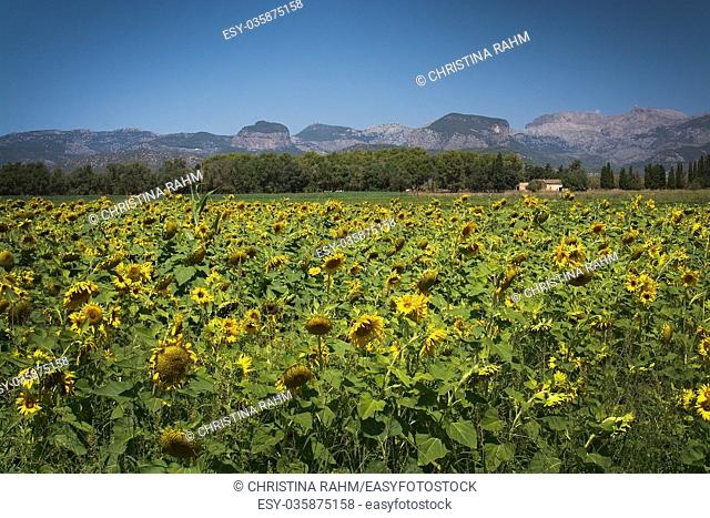 Sunflower field, Helianthuus anuum, in Mallorca, Balearic islands, Spain