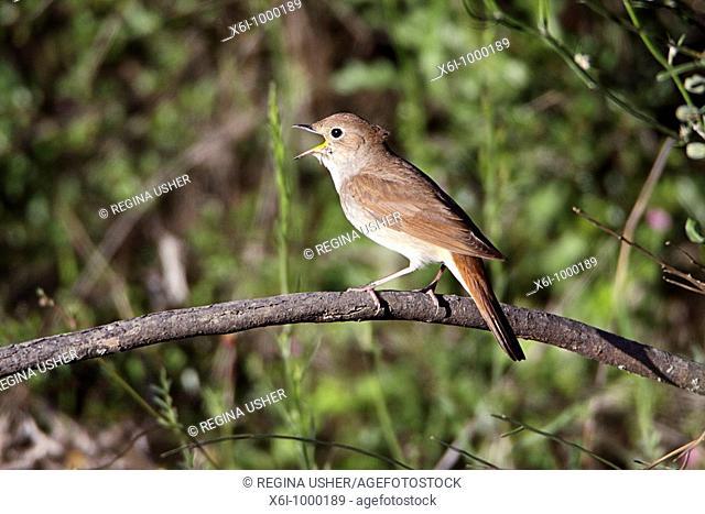 Nightingale Lucinia megarhynchos, singing from bush, Portugal
