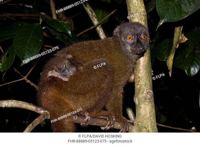 Female White fronted brown Lemur with young, at Nosy Mangabe - Madagascar