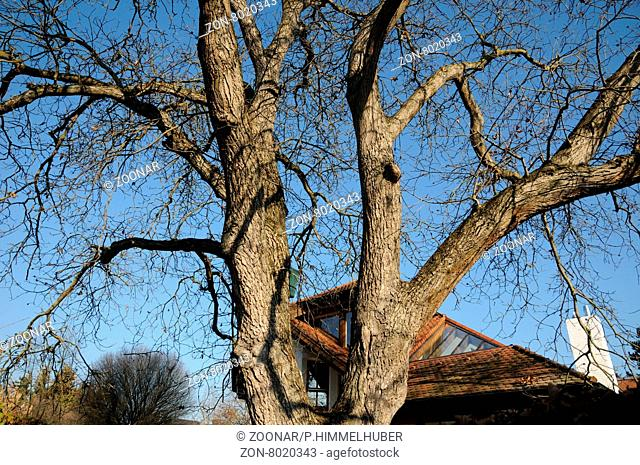 Juglans regia, Walnuss, Walnut, alter Baum