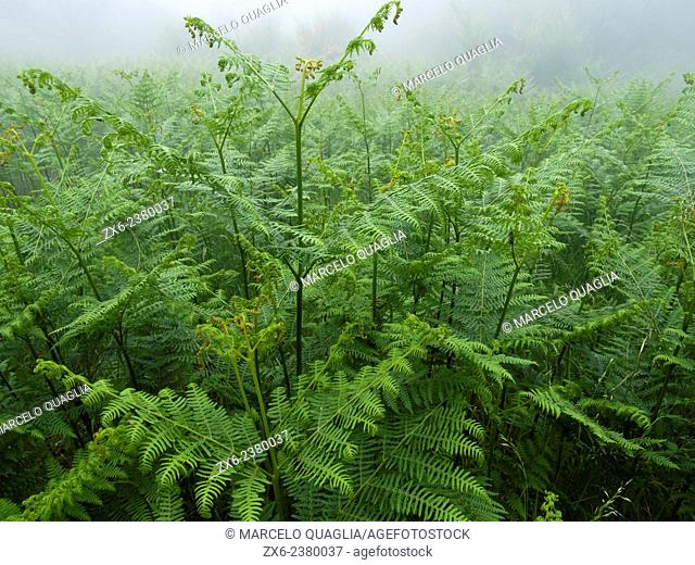 Group of Common brackens (Pteridium aquilinum). Montseny Natural Park. Barcelona province, Catalonia, Spain