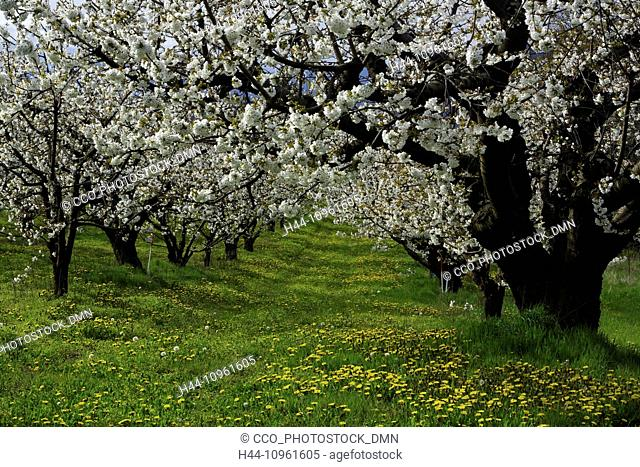 orchard, orchards, trees, cherry trees, cherry, cherries, spring, sunny, barn, farm, agriculture, country, farming, bloom, blooming, blossom, blossoming, flower