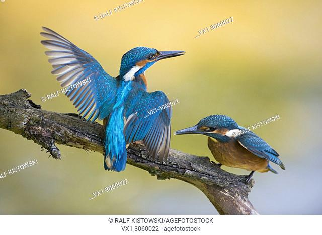 Territorial Common Kingfisher / Kingfisher (Alcedo atthis) male adult in struggle with its fledgling, wildlife, Germany, Europe