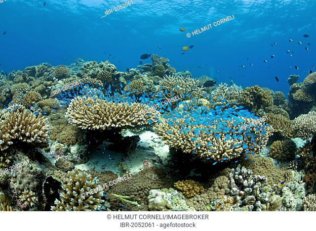 Green Chromis (Chromis viridis) hovering over a coral reef, Acropora stone coral, Maldives, Indian Ocean, Asia