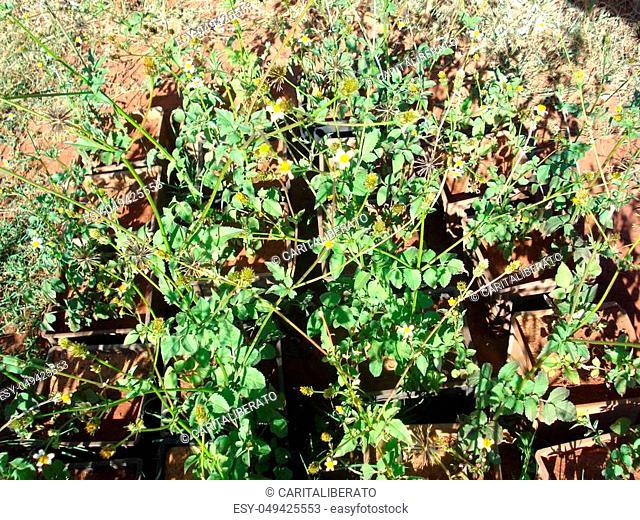 Bidens is a genus of flowering plants in the aster family, Asteraceae, known as beggarticks, black jack, burr marigolds, cobbler's pegs, Spanish needles