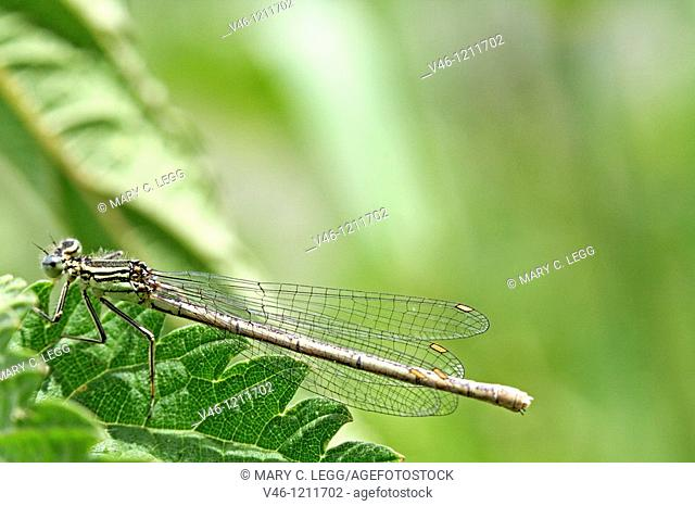 Immature Female White-legged Damselfly, Platycnemis pennipes  White with a slight bluish tinge  Light green thorax nd blue eyes unusual for Beroun area  The...