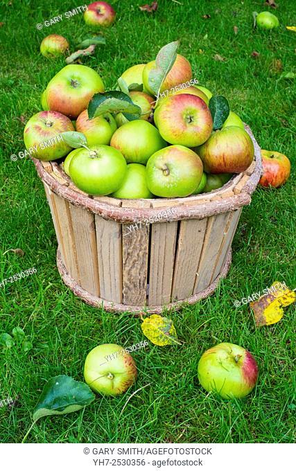 Bramley Apples in wooden bucket