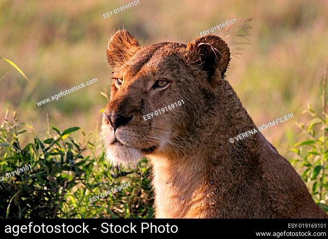 Löwin Wildlife
