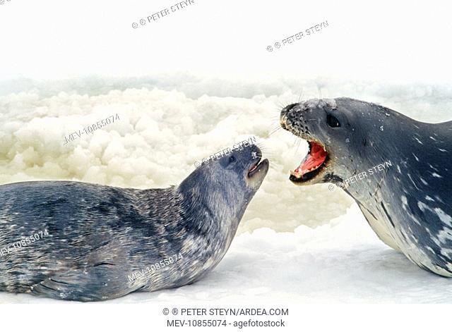 Weddell / Weddel Seal - 'talking' to pup
