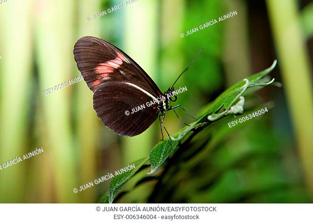 The Postman Butterfly, Heliconius melpomene. These type of Butterflies are also known as passion vine butterflies. They range from Brazil to Mexico