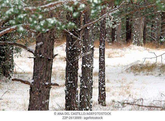Winter landscape Gudar mountains Teruel Spain Pine trees trunks