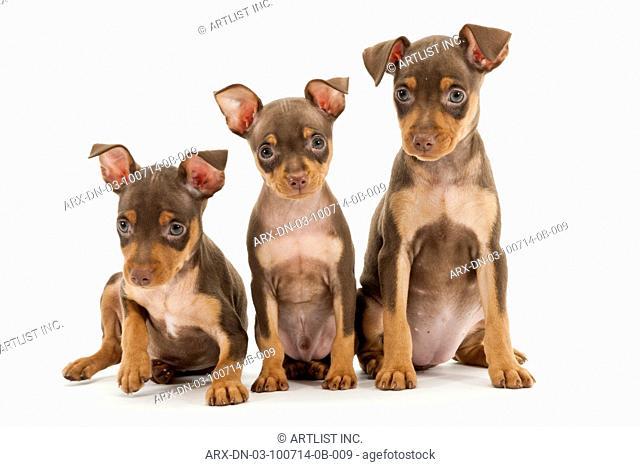 Three sitting puppies