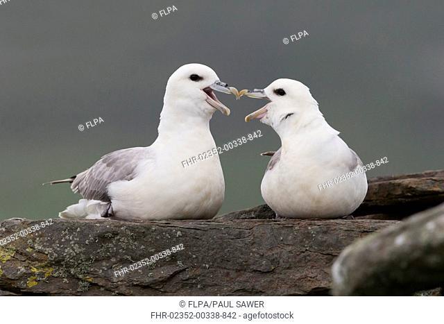Northern Fulmar (Fulmarus glacialis) adult pair, calling and beak rubbing during courtship display, Shetland Islands, Scotland, June