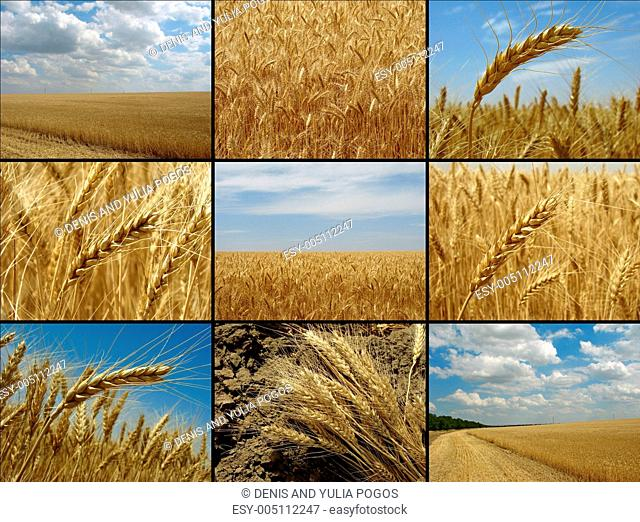 wheat collection
