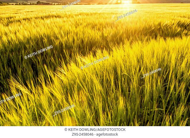 Late Summer evening in Wheat field near Harvest time.Farmland in Milford, County Carlow, Ireland