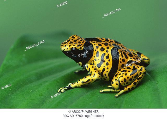 Yellow Banded Poison Arrow Frog Dendrobates leucomelas Poison Dart Frog