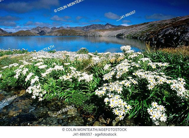 Senecio sp  and Lake Mavis above Goat Pass Arthurs Pass National Park New Zealand