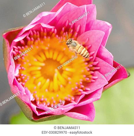 Bee nectar in the lotus