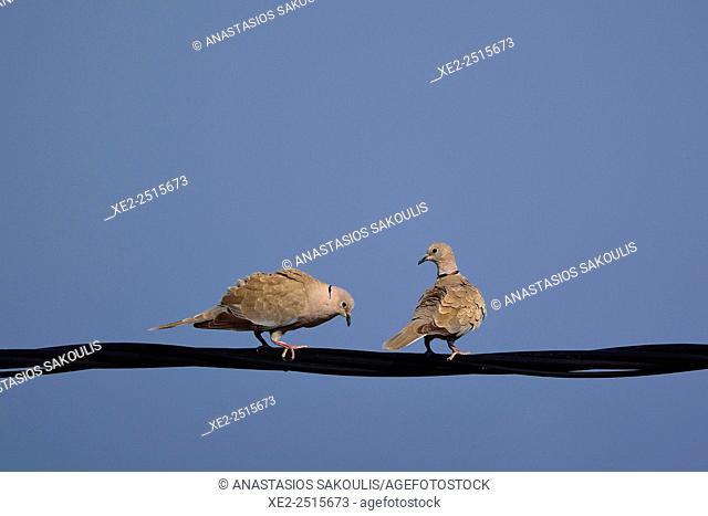 Collared Doves - Streptopelia decaocto, Greece
