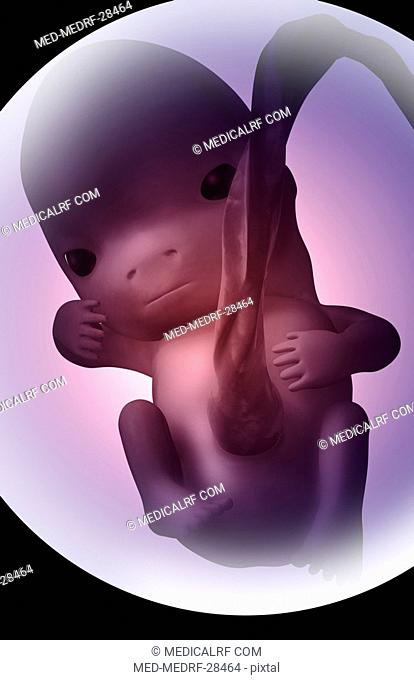 Embryonic development. 7 weeks