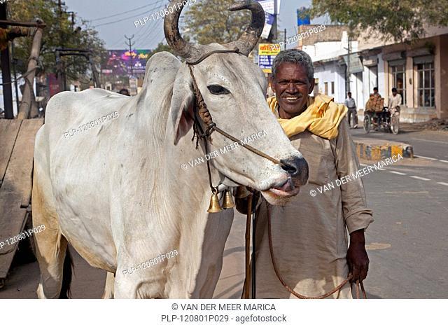 Man with holy zebu cow in street at Mathura, Uttar Pradesh, India