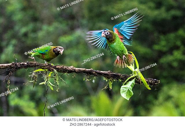 Brown-hooded parrot, Pyrilia haematotis, sitting in a tree, one is flying away, at Laguna del Lagarto, Boca Tapada, San Carlos, Costa Rica