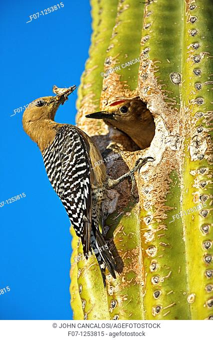 Gila Woodpecker Melanerpes uropygialis - Male and female at nest in Saguaro Cactus - Sonoran Desert - Arizona - Also feeds on nectar and insects in the Saguaro...