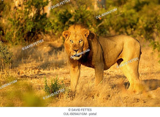 Portrait of male lion (Panthera leo), Mana Pools National Park, Zimbabwe