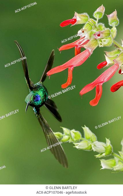 Green Violet-ear (Colibri thalassinus) flying and feeding at a flower in the mountains of Colombia, South America