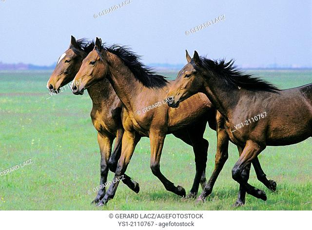Nonius Horse Trotting through Puszta in Hungary