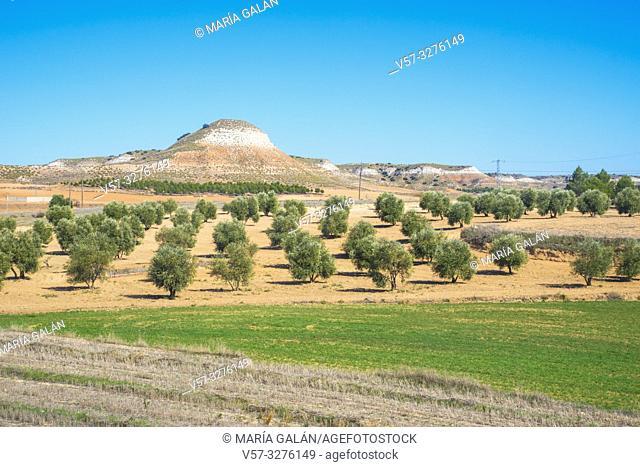 Olive groves. La Guardia, Toledo province, Castilla La Mancha, Spain