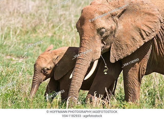 An elephant (Loxodonta africana) and its calf feeding in the Tarangire National Park in Tanzania, Africa