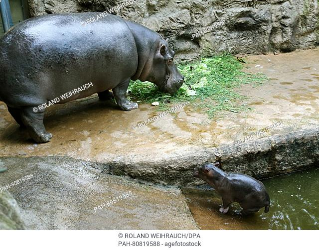 Mother 'Asita' eats as her one-day old hippo calf examines its enclosure at the Zoom Erlebniswelt zoo in Gelsenkirchen, Germany, 30 May 2016
