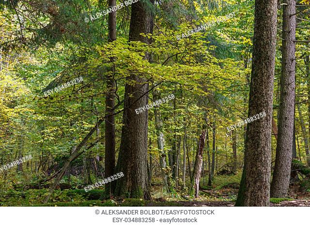 Autumnal landscape of natural with lying dead tree and old trees in background, Bialowieza forest, Poland, Europe
