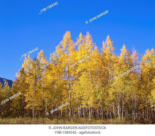 Morning light on autumn colored aspen grove beneath a deep blue sky, West Elk Mountains, Gunnison National Forest, Colorado, USA