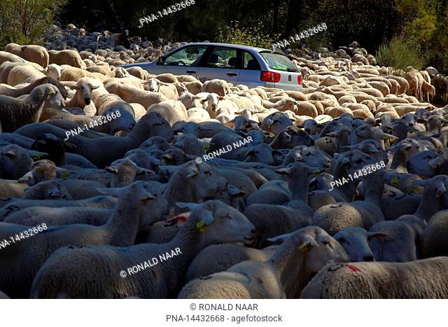 Sheep and car in the Natural Parc of the Sierra de Cazorla and the Sierra de Segura, Andalusia, Spain