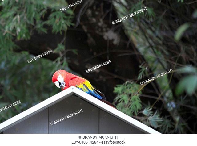 Single scarlet macaw perched on a blue birdhouse