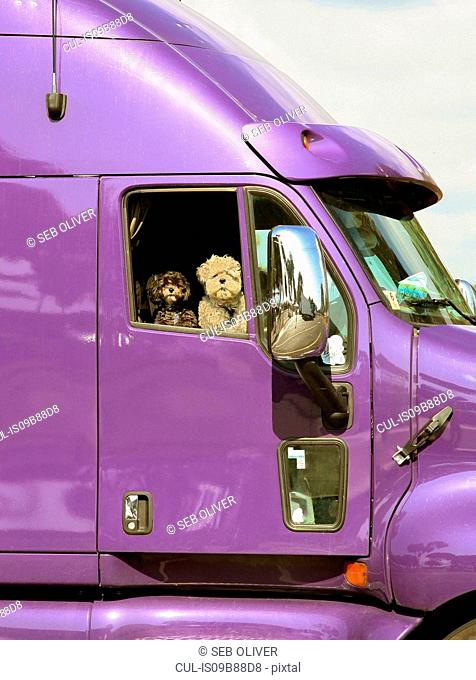 Portrait of two dogs looking from window of purple truck, USA