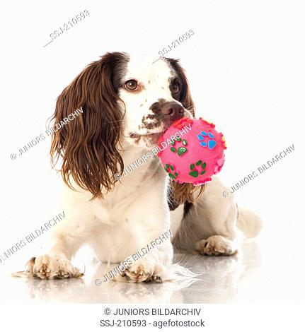 English Springer Spaniel. Adult dog lying, with a ball in its muzzle. Studio picture against a white background. Germany