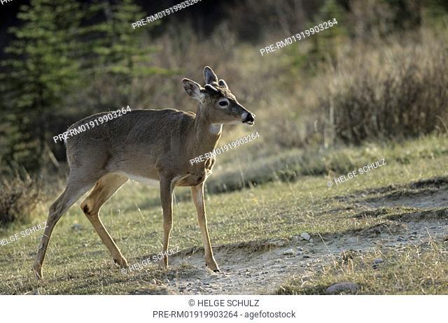 White-tailed Deer, male, Odocoileus virginianus