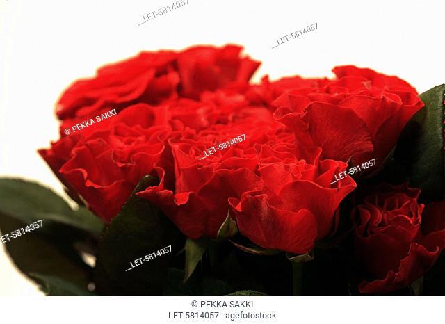 Roses  Helsinki, Finland
