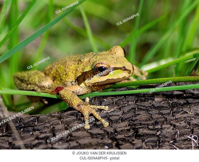 Pacific Tree Frog (Pseudacris regilla), Marin County, California, USA