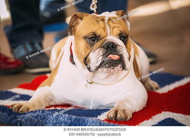 Close Up Young White English Bulldog Dog Sitting