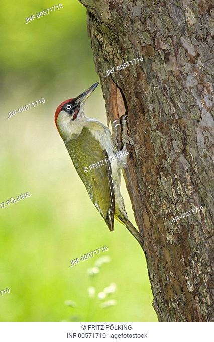 zoology / animals, avian / bird, Green Woodpecker, Picus viridis, at tree trunk, side view, distribution: Europe to Near Asia, birds, woodpeckers, Picidae, bork