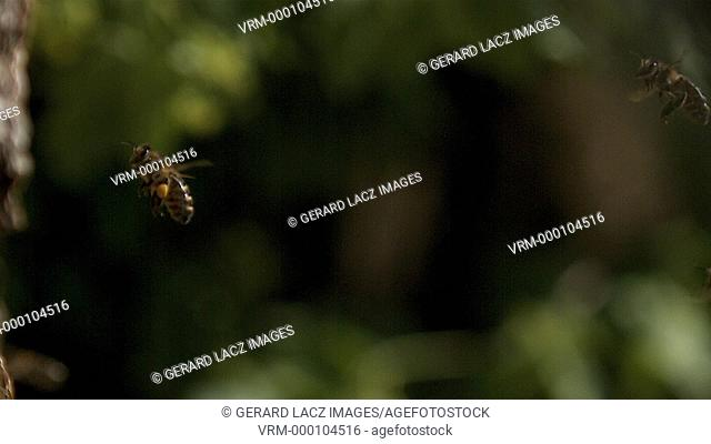 European Honey Bee, apis mellifera, Adults flying with note full pollen baskets, Slow motion