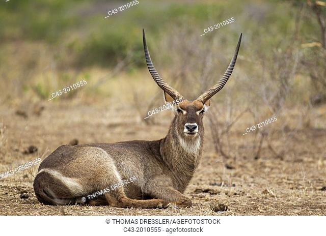 Common Waterbuck (Kobus ellipsiprymnus) - Resting bull. Females have no horns. Kruger National Park, South Africa