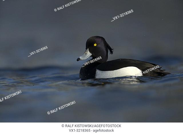 Beautiful male Tufted Duck / Reiherente (Aythya fuligula ) in breeding dress swims close on cold blue water